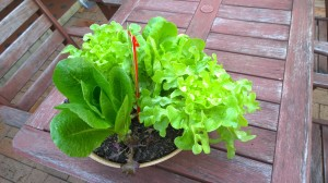 Growing Salad Bowl